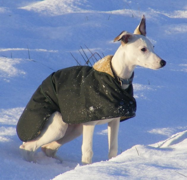 Italian Greyhound Wax Cotton Dog Coat